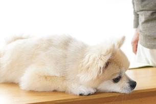 可愛い室内犬の写真素材 [FYI04723703]