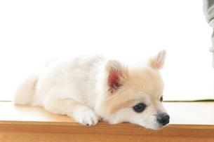 可愛い室内犬の写真素材 [FYI04723705]