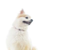 可愛い室内犬の写真素材 [FYI04723707]