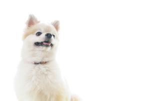 可愛い室内犬の写真素材 [FYI04723709]