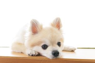 可愛い室内犬の写真素材 [FYI04723712]
