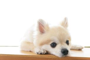 可愛い室内犬の写真素材 [FYI04723727]