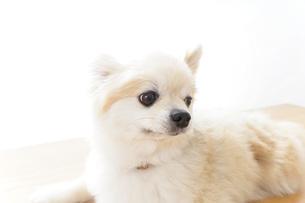 リラックスする犬の写真素材 [FYI04724417]