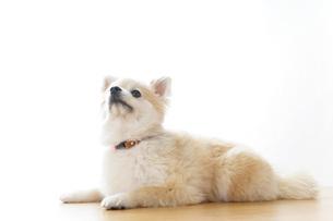 リラックスする犬の写真素材 [FYI04724418]