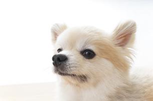 リラックスする犬の写真素材 [FYI04724420]