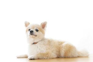 リラックスする犬の写真素材 [FYI04724424]