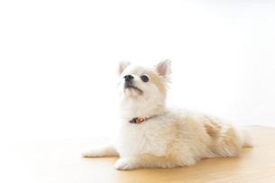 リラックスする犬の写真素材 [FYI04724425]