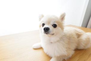 リラックスする犬の写真素材 [FYI04724437]