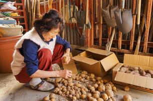 野菜を収穫するシニアの写真素材 [FYI04724683]