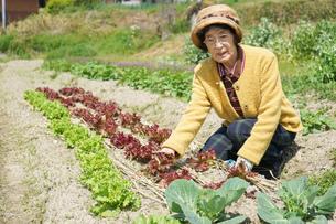 野菜を収穫するシニアの写真素材 [FYI04724765]