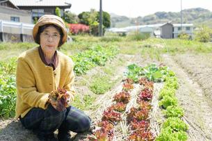 野菜を収穫するシニアの写真素材 [FYI04724768]