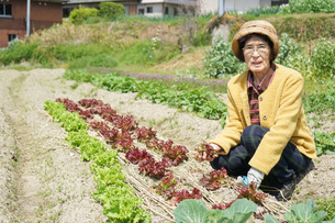 野菜を収穫するシニアの写真素材 [FYI04724773]