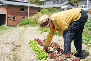 野菜を収穫するシニアの写真素材 [FYI04724777]