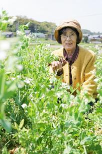 野菜を収穫するシニアの写真素材 [FYI04724784]
