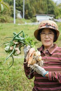 野菜を収穫するシニアの写真素材 [FYI04724827]