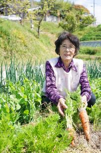 野菜を収穫するシニアの写真素材 [FYI04724894]