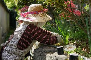 野菜を収穫するシニアの写真素材 [FYI04724899]