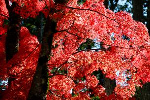 紅葉の写真素材 [FYI04728011]