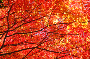 紅葉の写真素材 [FYI04728012]