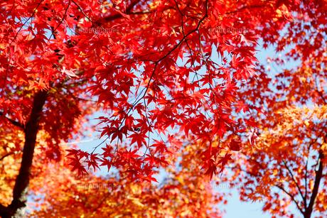 紅葉の写真素材 [FYI04728021]