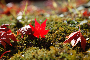 紅葉の落ち葉の写真素材 [FYI04728027]