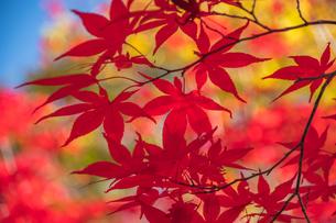 赤く染まるもみじの写真素材 [FYI04728133]