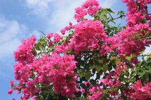ハイビスカス 沖縄 晩夏 ピンク 満開の写真素材 [FYI04728161]