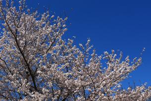 青く澄んだ空と桜の写真素材 [FYI04728191]