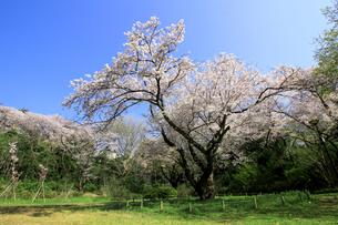 桜の花が満開に咲く横浜の三ッ池公園にある桜の大きな古木の写真素材 [FYI04728279]