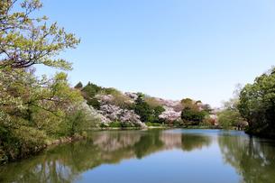 桜の季節の横浜の鶴見の三ツ池公園の写真素材 [FYI04728284]