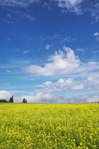 菜の花畑と雲の写真素材 [FYI04728298]