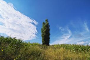 ポプラの木と雲の写真素材 [FYI04728301]