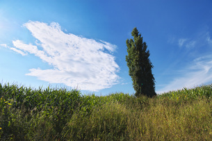ポプラの木と雲の写真素材 [FYI04728302]