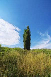ポプラの木と雲の写真素材 [FYI04728303]