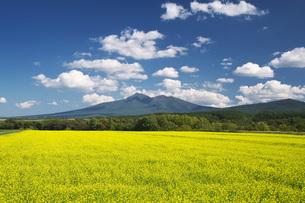 斜里岳と菜の花の写真素材 [FYI04728351]