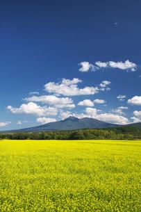 斜里岳と菜の花の写真素材 [FYI04728355]