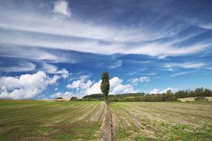 ポプラの木と雲の写真素材 [FYI04728364]