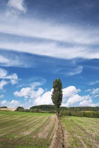 ポプラの木と雲の写真素材 [FYI04728366]