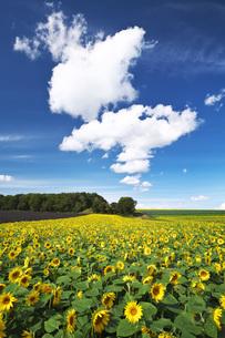パレットの丘のヒマワリと雲の写真素材 [FYI04728374]
