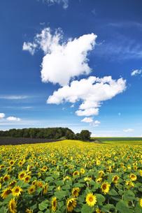 パレットの丘のヒマワリと雲の写真素材 [FYI04728376]