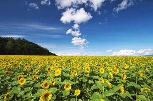 パレットの丘のヒマワリと雲の写真素材 [FYI04728378]