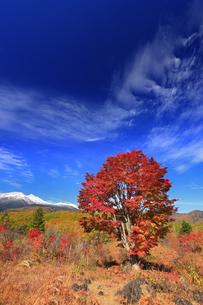 紅葉の乗鞍高原の大カエデと乗鞍岳と秋空の写真素材 [FYI04728667]