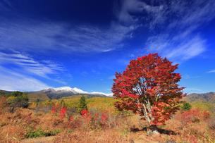 紅葉の乗鞍高原の大カエデと乗鞍岳と秋空の写真素材 [FYI04728668]