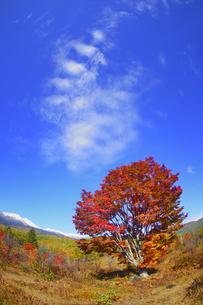 紅葉の乗鞍高原の大カエデと乗鞍岳と秋空の写真素材 [FYI04728669]