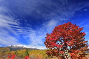 紅葉の乗鞍高原の大カエデと乗鞍岳と秋空の写真素材 [FYI04728673]