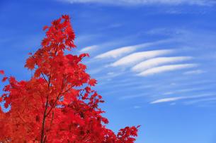 乗鞍高原のモミジと雲の写真素材 [FYI04728675]