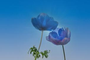 大空と一対の青いアネモネの写真素材 [FYI04728761]