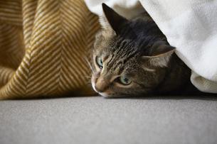 布にうもれている猫の写真素材 [FYI04728860]