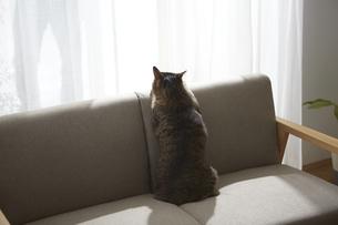 ソファの上に座って外を見ている猫の写真素材 [FYI04728864]