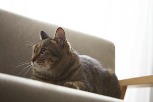 ソファの上に座っている猫の写真素材 [FYI04728865]